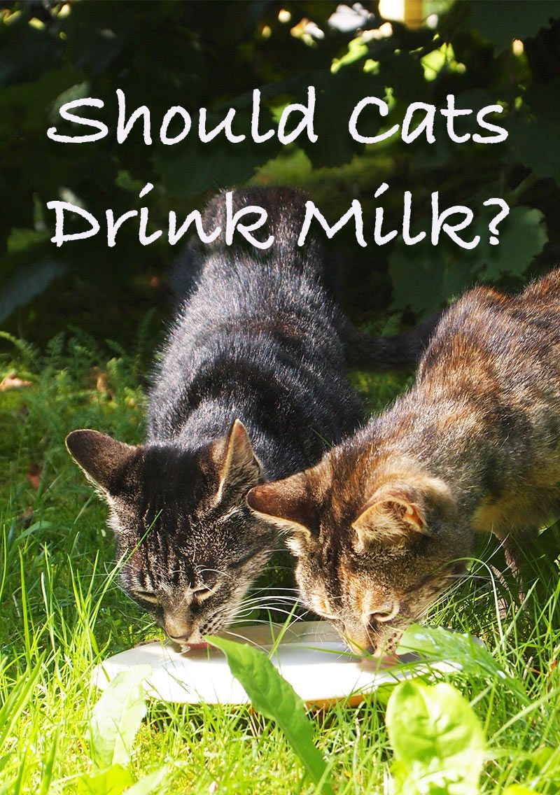 What Kind Of Milk Can Cats Drink And Should Cats Drink Milk At All Cat Drinking Milk For Cats Drink Milk