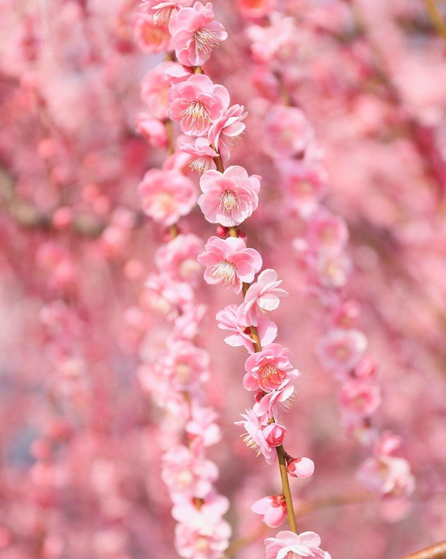 Soga Bessho Bairin Odawara Shizuoka Japan Plum Spring