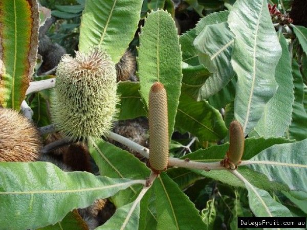 Banksia Swamp Banksia Robur Plants Flower Essences Horticulture