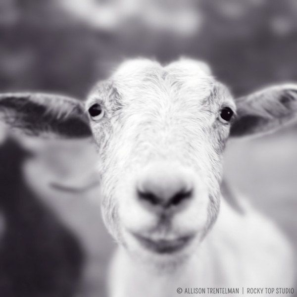 Sale smiling goat photo happy farm animal art print goat art black and white photography print goat print mitten the goat