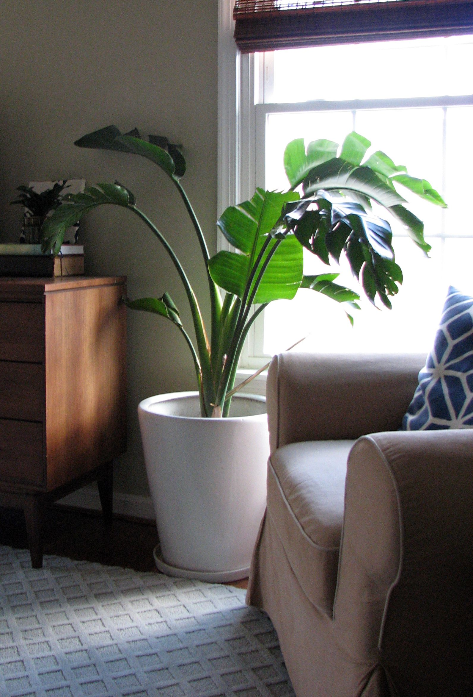 A Banana Tree In My Living Room House Plants Indoor