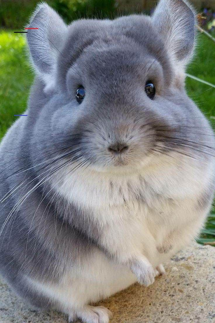 Chinchillas Chinchillas 5 Things to Know About Chinchillas #chinchillas #exoticpets #smallpets #pets #animals<br>