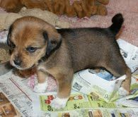 Adopt Beagle Mix Puppy Winky On Potential Pups Beagle Mix