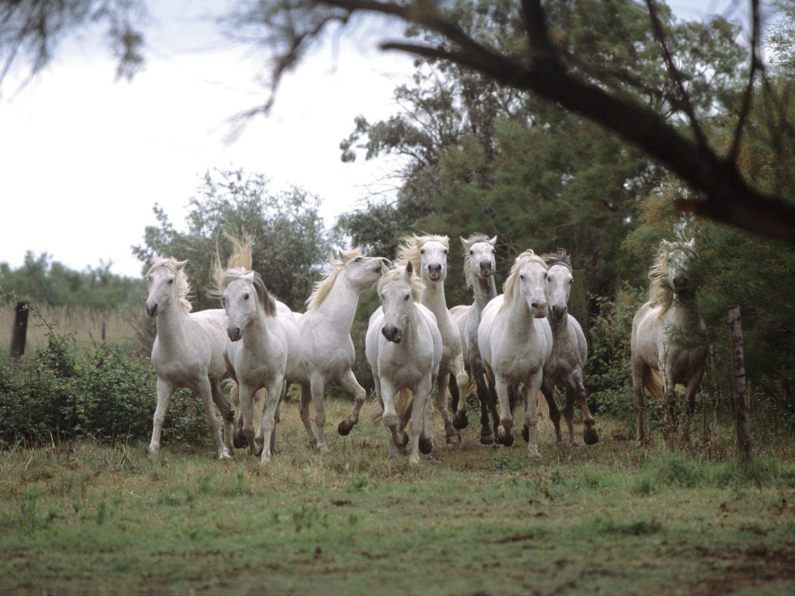 proche de Montpellier : la Camargue et ses chevaux
