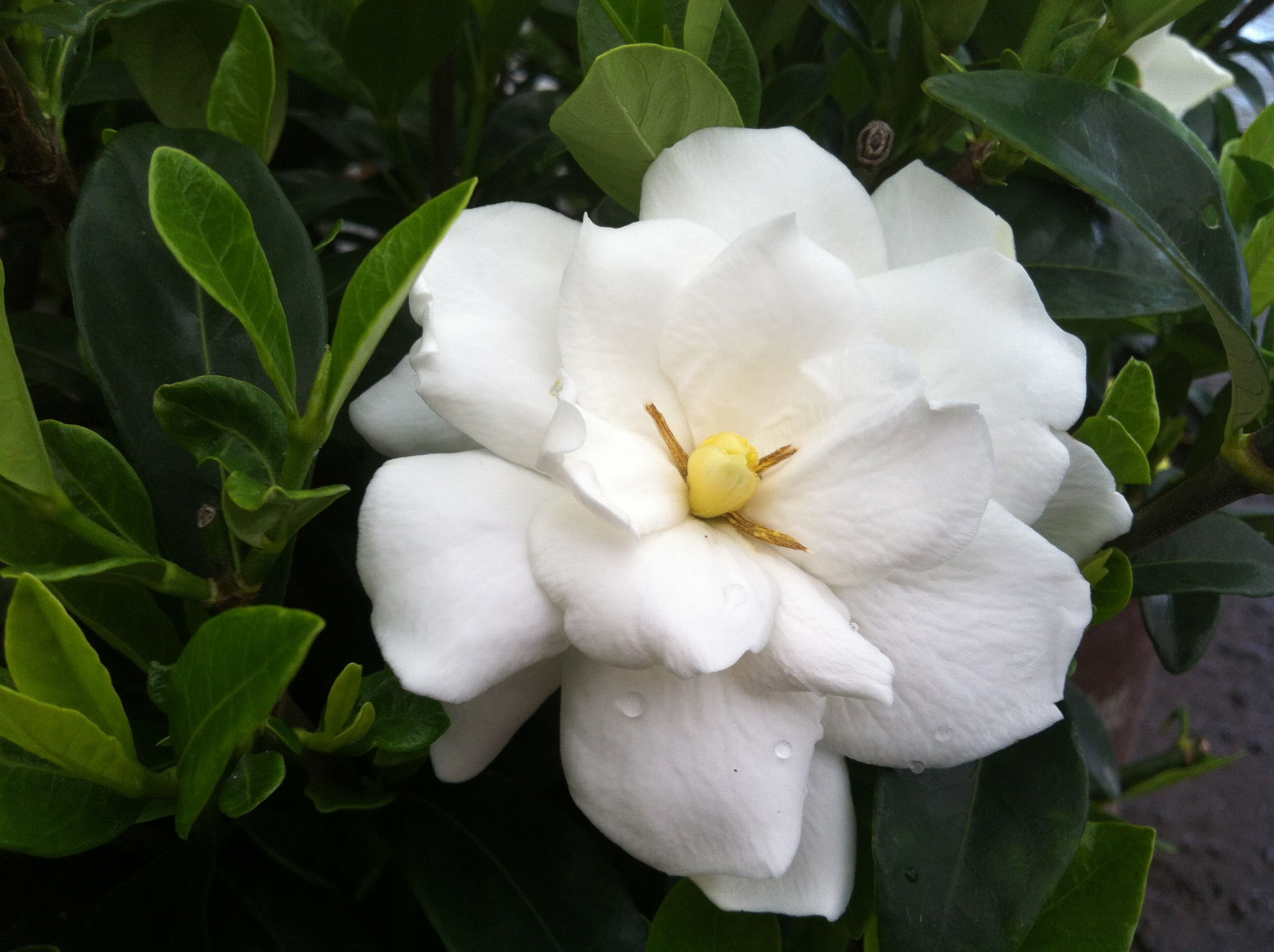 A Charming Improvement On A Southern Favorite Jubilation Gardenia Re Blooms  Fragrantly Through Summer And