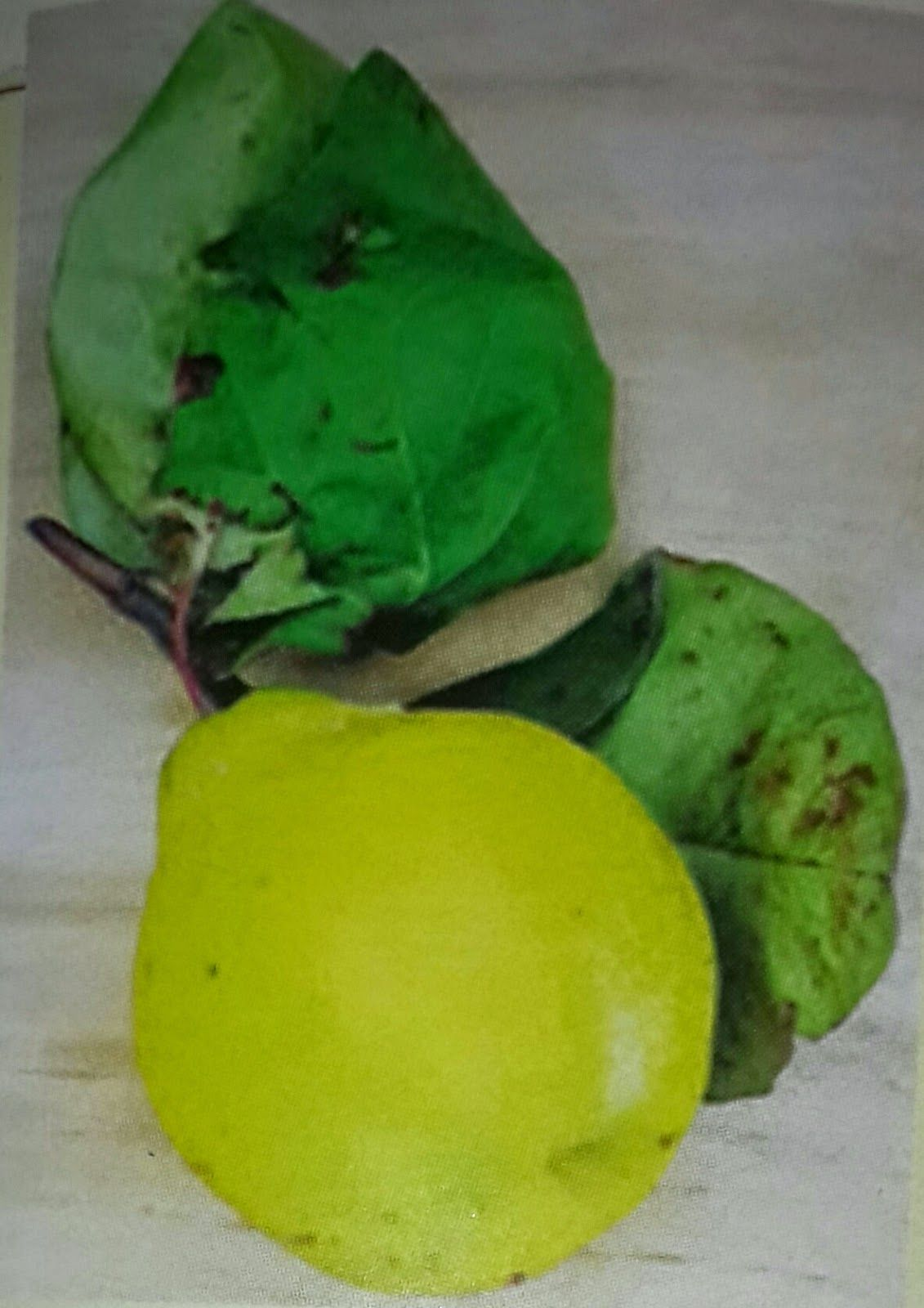 نصائح علاجية الاسفرجل Mango Fruit Food