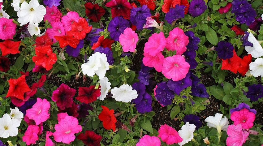 Flores resistentes para tu jard n huerto y jard n for Plantas de jardin resistentes