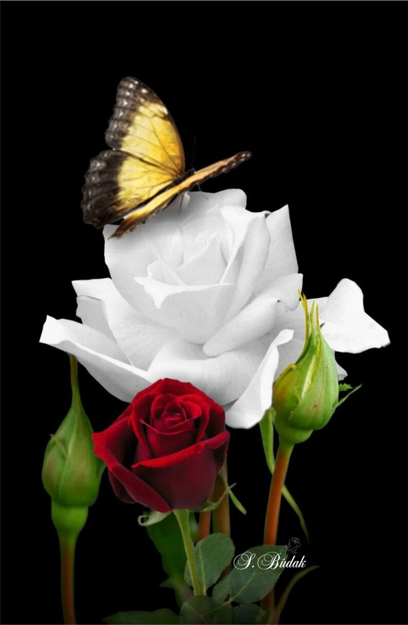 A butterfly will beautify the beauty of a rose flower te amo a butterfly will beautify the beauty of a rose flower izmirmasajfo