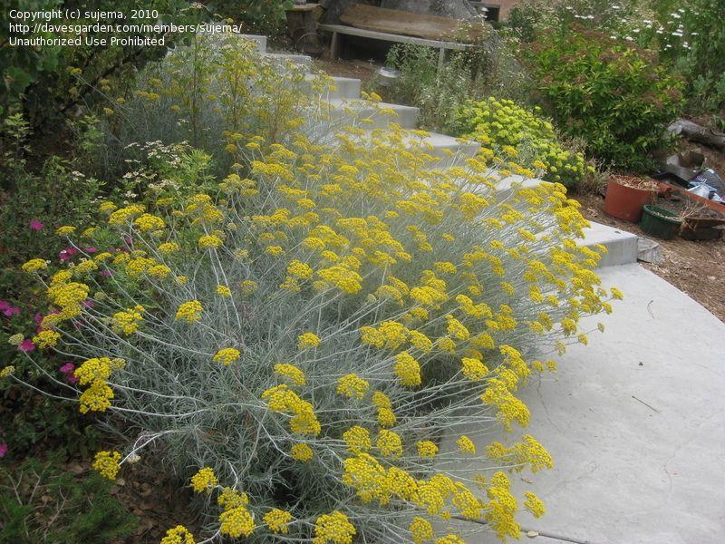 Pin Su Plants Perennials Evergreen