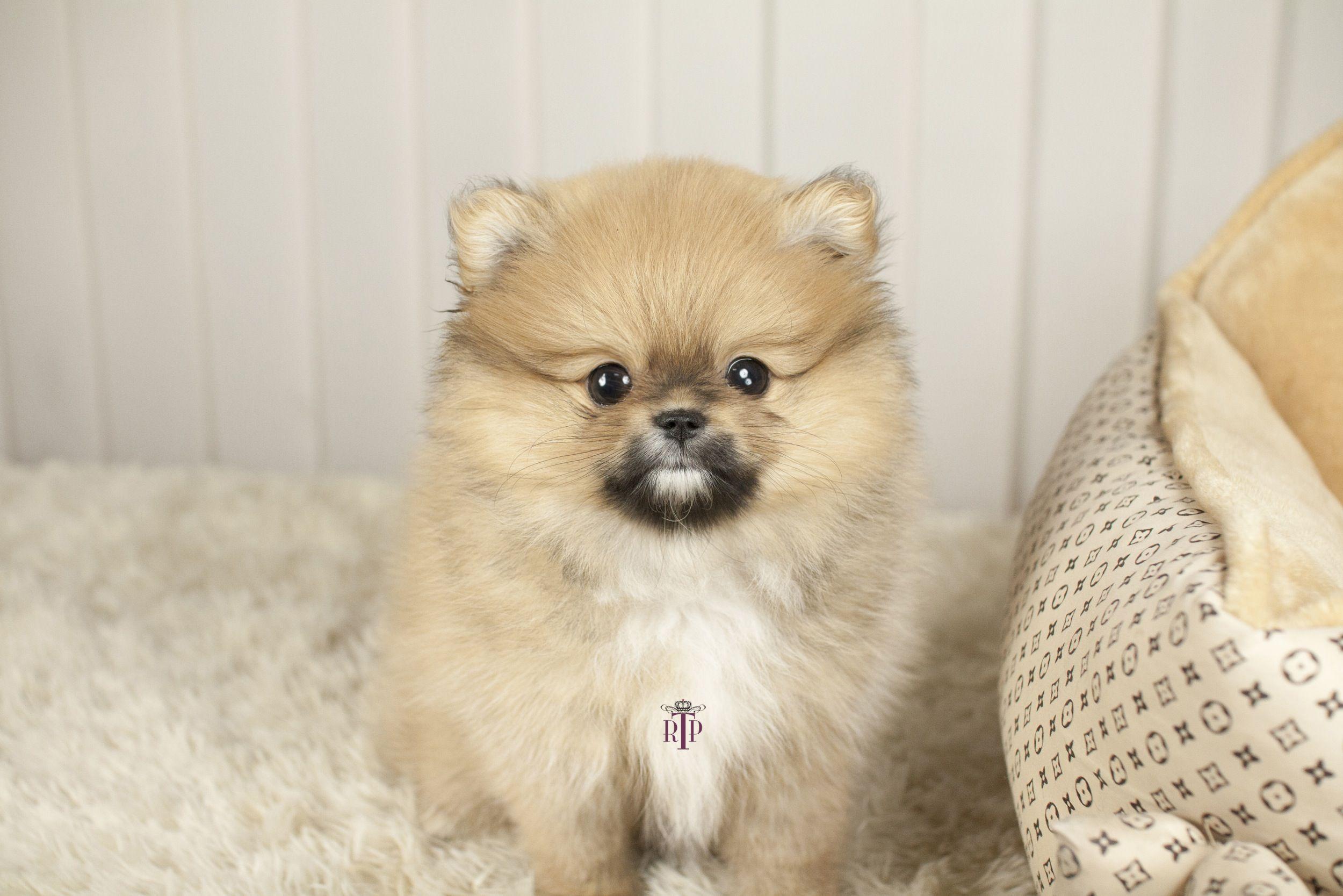 Teacup Pomeranian Puppy Chien mignon, Chien, Chiot