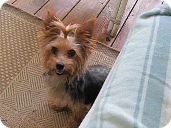 Adopt A Pet Snookie Love Bug Orlando Fl Yorkie Yorkshire Terrier Yorkshire Terrier Yorkshire Terrier Dog Yorkshire Terrier Funny