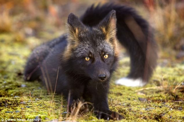 Photo of Extremely rare – and extremely curious: Photographer captures enchanting images of silver fox in the wild