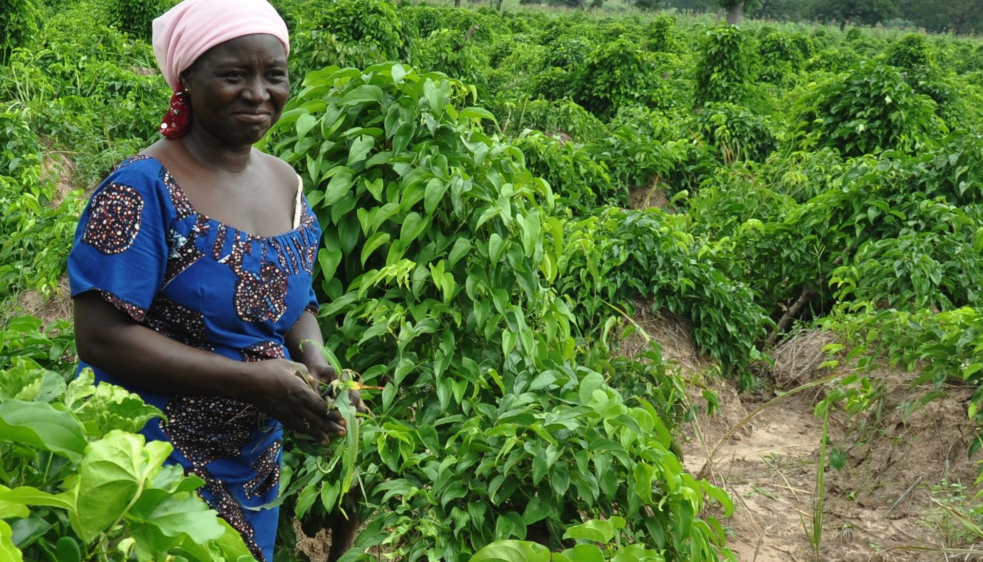 About 80% of land in Yoruba is cultivable, and about 13% is forested. There is also livestock that farmers raise.