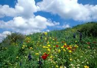 Valley of Elah, outside of Jerusalem.  The flowers bloom in the winter months.