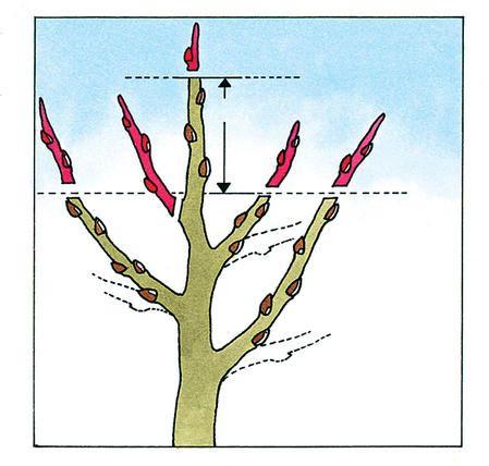 Einen Apfelbaum richtig schneiden  - DAS HAUS #bonsaiplants