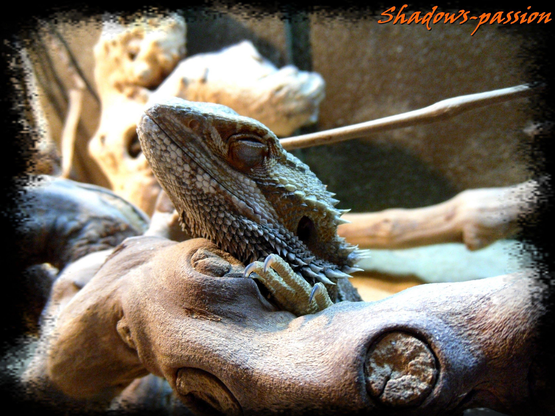 Pogona Vitticeps (Bearded Dragon)