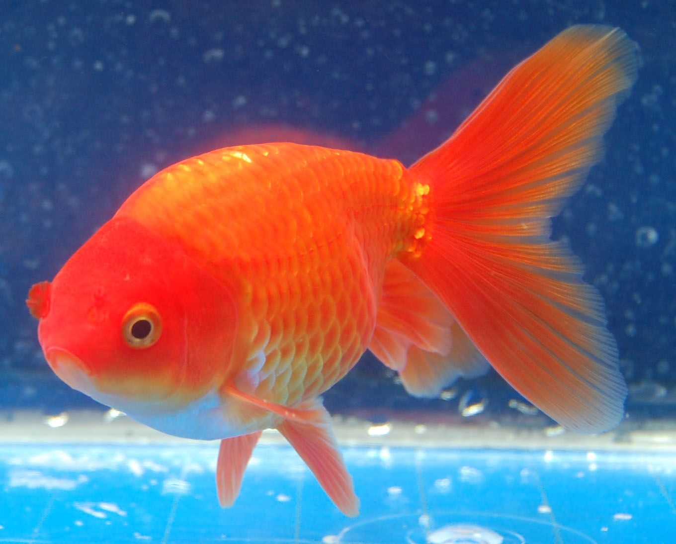 Goldfish pretty red shukin goldfish for the pond for Pretty freshwater fish