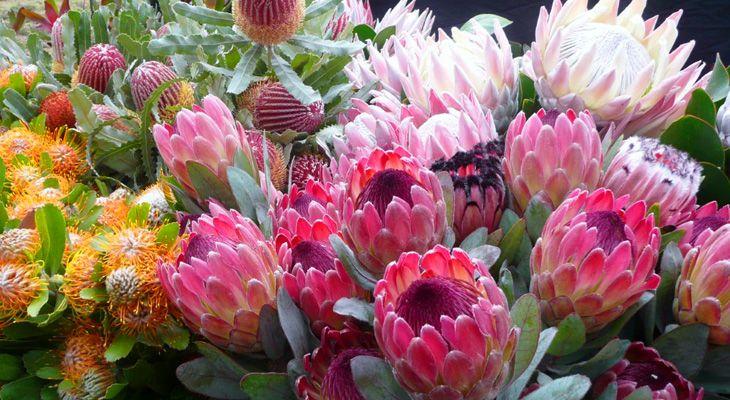 Cloud Flower Protea Farm Flowers Tropical Flowers Plants