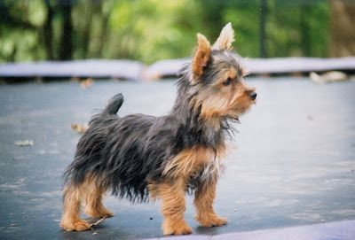 Australian Silky Terrier Silky Terrier Australian Terrier