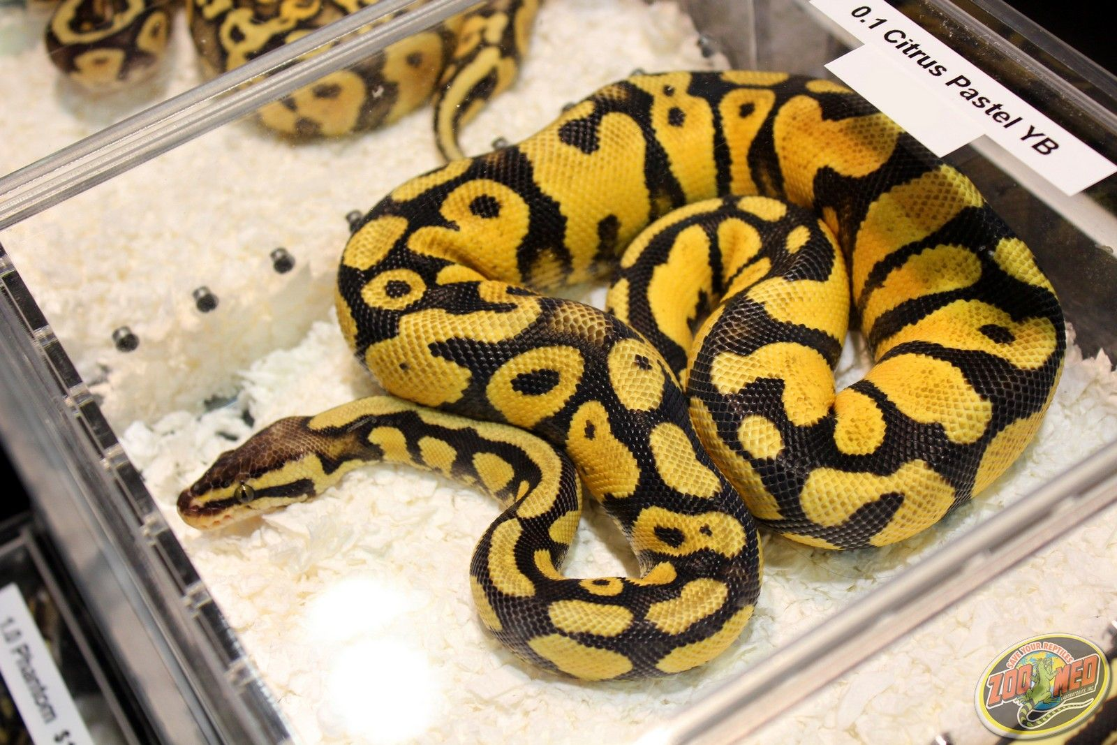 Citrus Pastel from Keo Reptiles at the Reptile Super Show