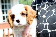 Top Meadow Cavalier Breeder Near San Diego King Charles Puppy Cavalier Puppy Puppies
