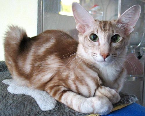 Cinnamon Silver Classic Tabby Oriental Shorthair Cats Orange Tabby Cats Tabby Cat Pictures