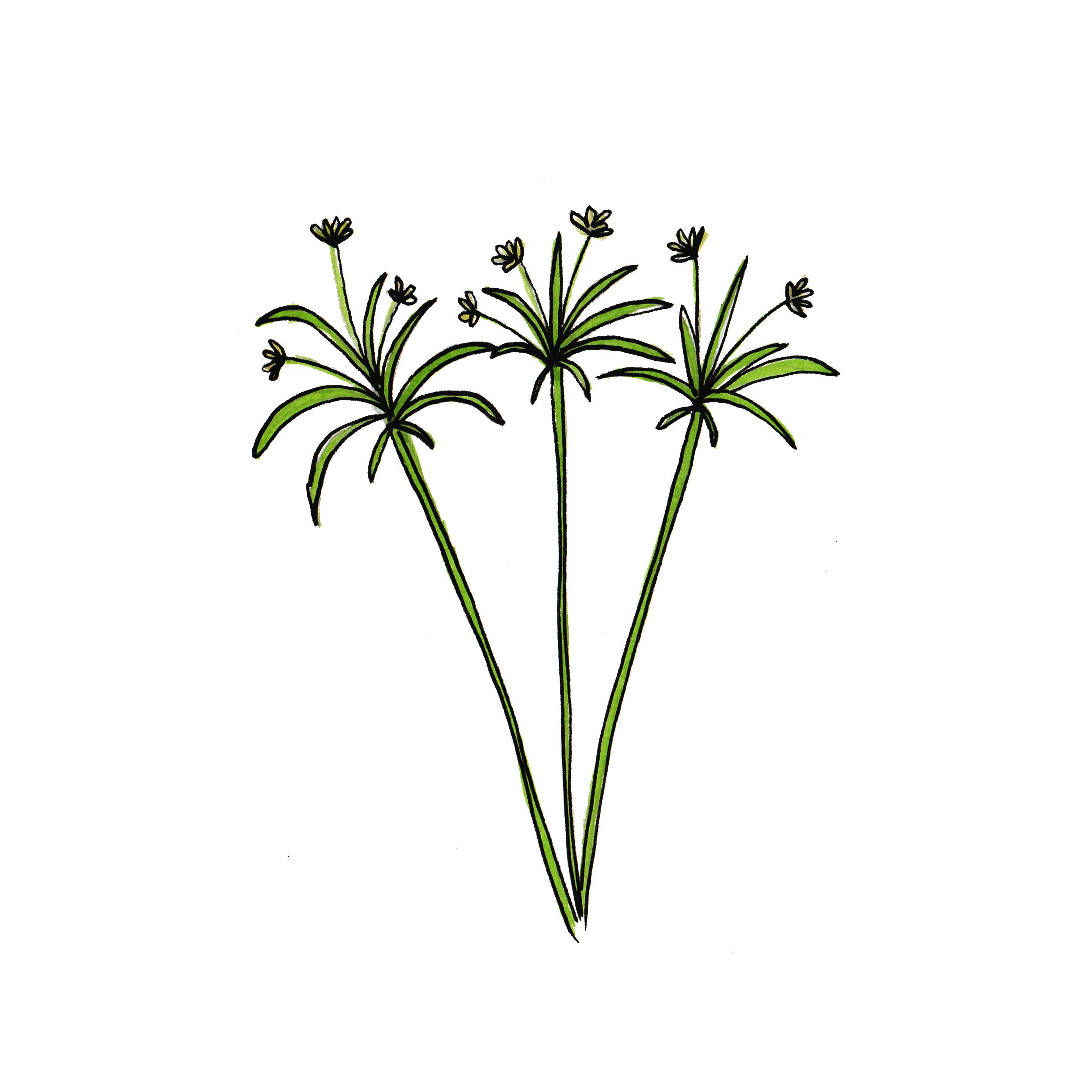 Papyrus Une Plante Aux Origines égyptiennes Avec Un