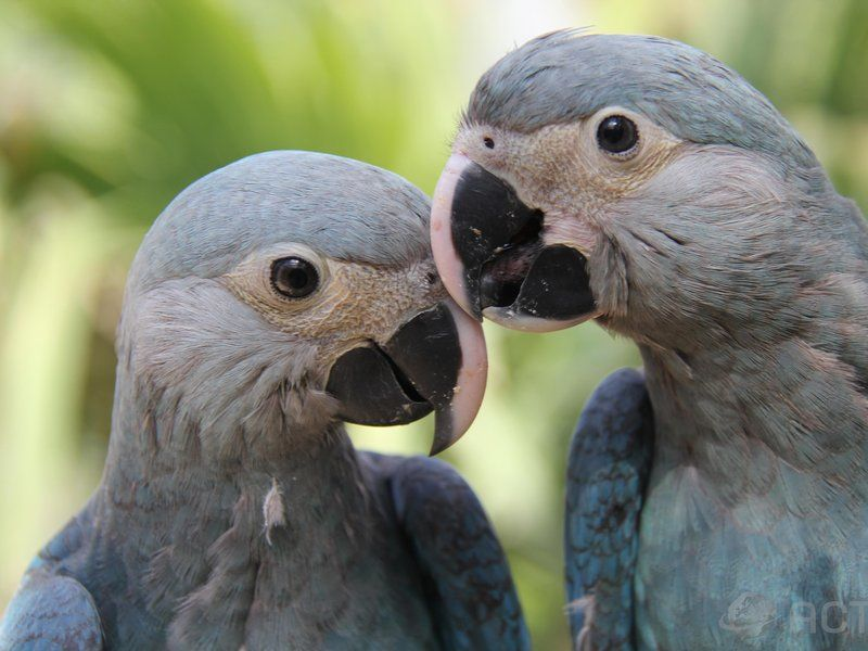 "Six Macaw, Star of ""Rio,"" Spotted in the Wild for the First ..."