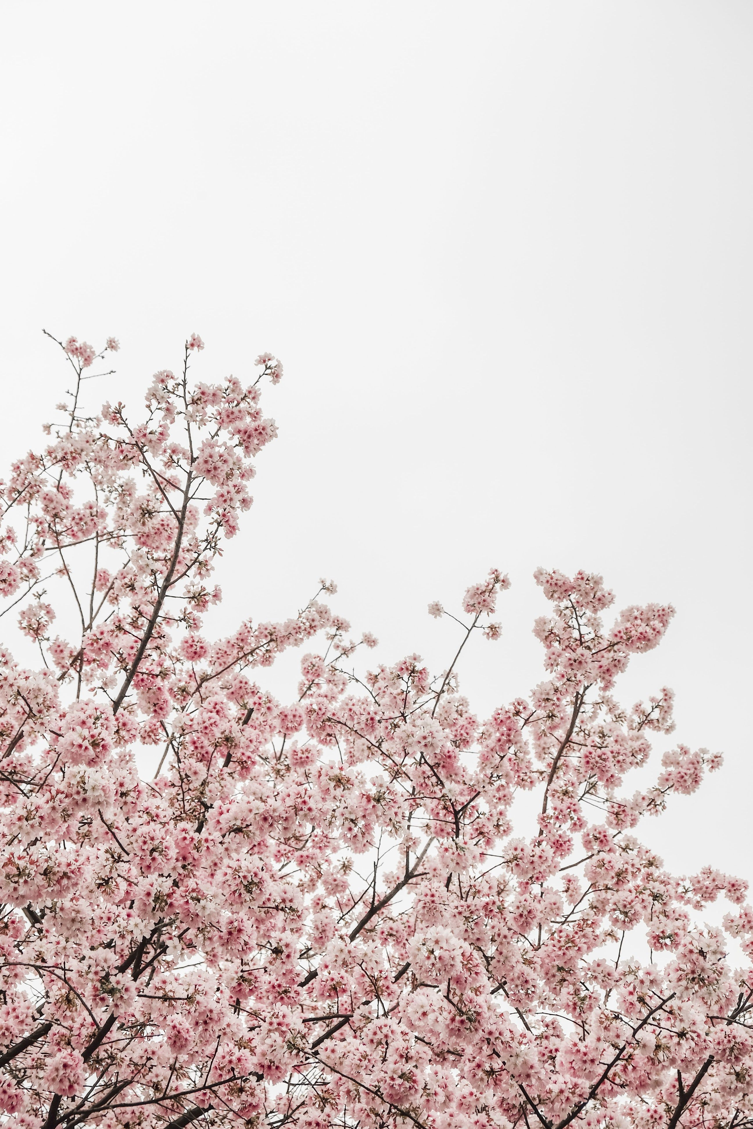 Cherry Blossom Flowers Get Inspired By Florals This Spring Shop The Spring 2019 Collection Now At Spring Wallpaper Iphone Wallpaper Preppy Preppy Wallpaper