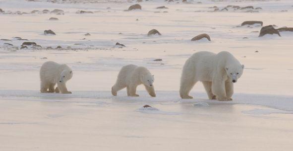 Why Do Polar Bears Do What They Do? | Polar Bears International