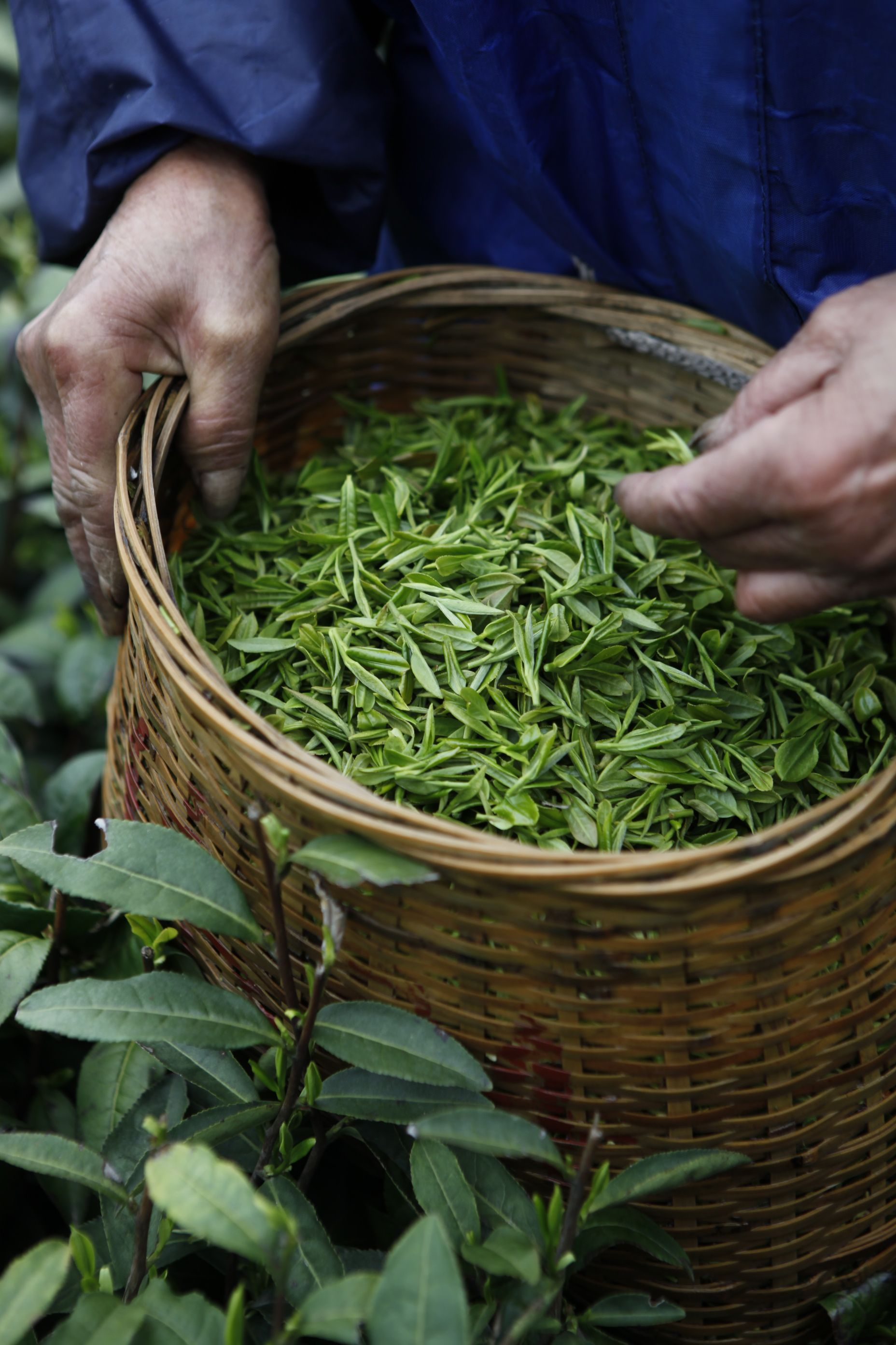 Picking Tea In Moganshan Ceremonie Du The Recettes De The