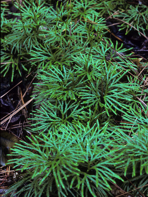 Fan Clubmoss Running Cedar Ground Pine Lycopodium Digitatum
