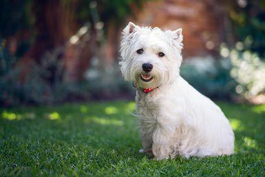 West Highland White Terrier Westie Dog Breed Profile Westie Dogs West Highland Terrier Westies