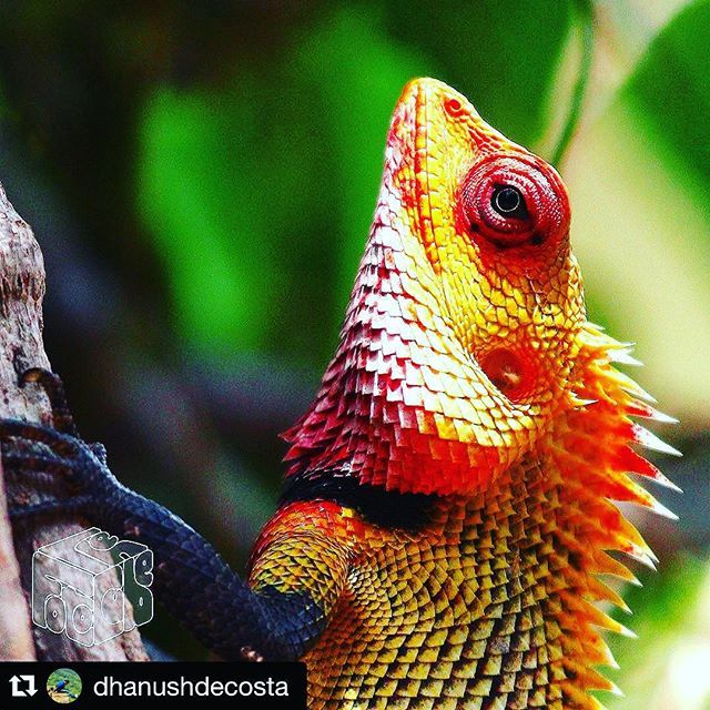 Forest Lizard captured in a colourful shot by @dhanushdecosta Repost with #stockphotolk Sign up on www.stockphoto.lk and convert your creativity into revenue! .  The #commongreenforestlizard (Calotes calotes) has a bright green dorsal coloration usually with 5 or 6 white cream or dark green transverse stripes; however these are changeable. Often the stripes continue on to the tail. The head is yellowish- or brownish-green whereas the male develops a bright red head and throat in the breeding…