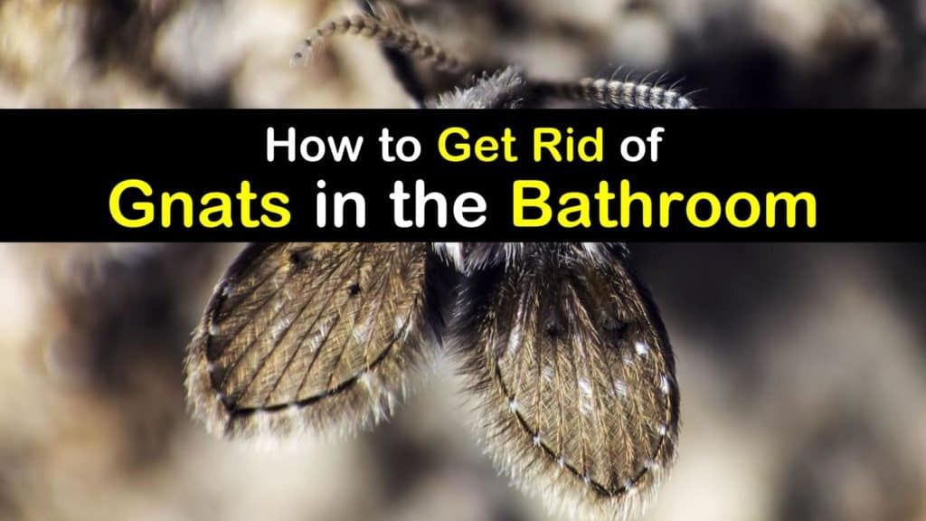Bathroom Gnats Infestation How To Get Rid Of Gnats In The Bathroom How To Get Rid Of Gnats Gnats Get Rid Of Flies