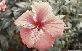 Resultado de imagen para flores hawaianas pintadas