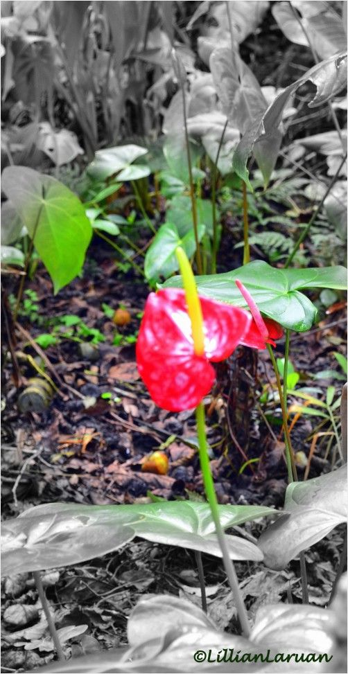 A Lone Anthurium Exudes Its Charms Anthurium Forest Kapangan Benguet Philippines Anthurium Flower Anthurium Flowers