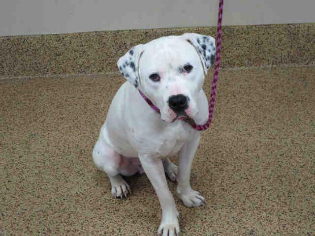 Bulloxer dog for Adoption in Springfield, MA. ADN541654
