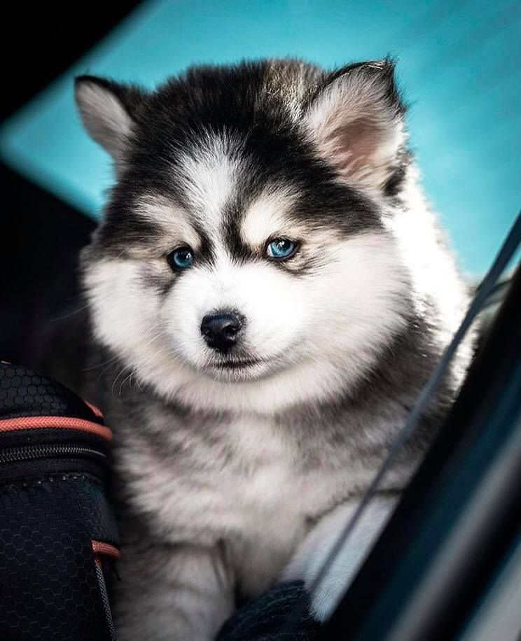 Check it out! It's a miniature Husky! #miniaturehusky Check it out! It's a miniature Husky! #miniaturehusky Check it out! It's a miniature Husky! #miniaturehusky Check it out! It's a miniature Husky! #miniaturehusky Check it out! It's a miniature Husky! #miniaturehusky Check it out! It's a miniature Husky! #miniaturehusky Check it out! It's a miniature Husky! #miniaturehusky Check it out! It's a miniature Husky! #miniaturehusky Check it out! It's a miniature Husky! #miniaturehusky Check it out! #miniaturehusky