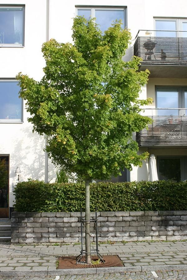Acer Campestre Elsrijk Field Maple Trees Garden Trees Acer