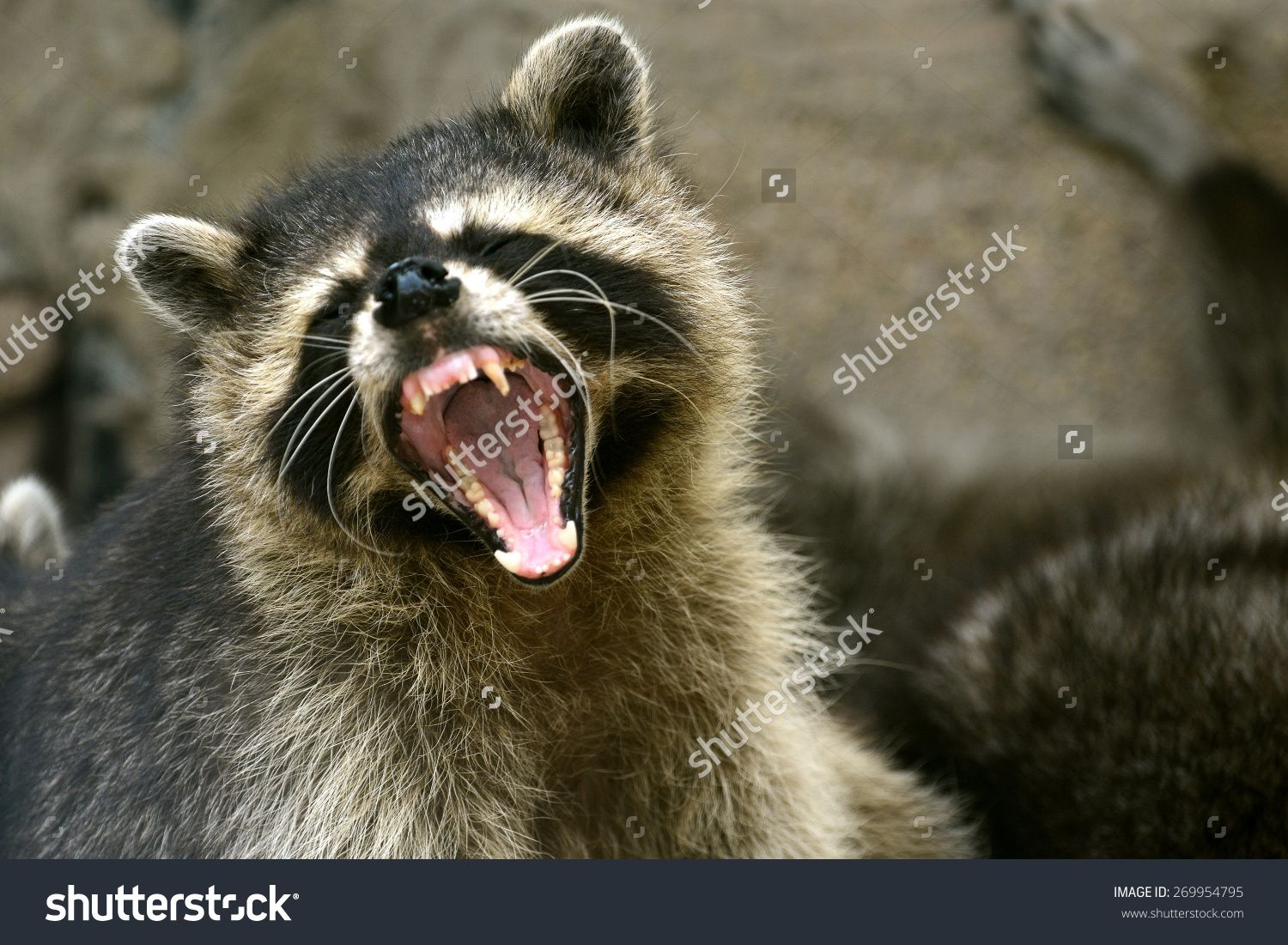 stock-photo-face-of-cute-raccoon-open-mouth-action-269954795.jpg ...