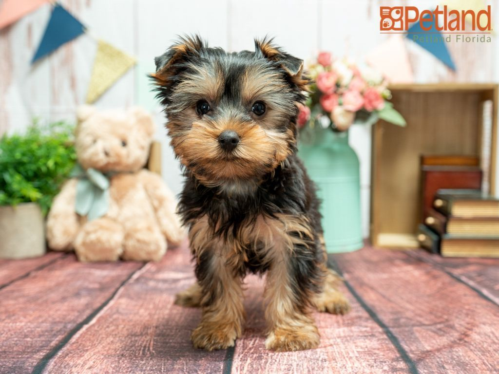 Puppies For Sale Yorkshire Terrier Puppies Puppies Yorkshire