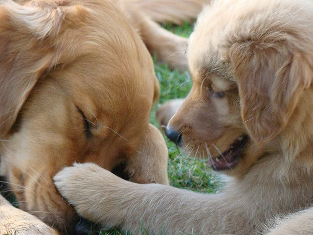Golden Retriever Mom And Puppy I Know You Are Pretending To Be
