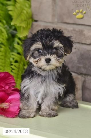 Sugar Cooky Morkie Puppy For Sale In Sugar Creek Oh Morkie Puppy For Sale Morkie Puppies Puppies Puppies For Sale