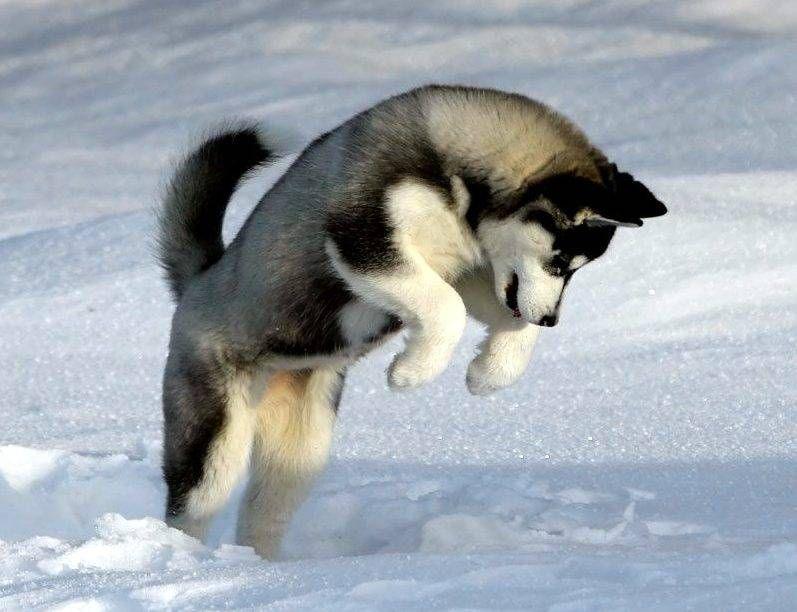 Pin By Sara Beatriz On Mascotas In 2020 Alaskan Malamute Puppies