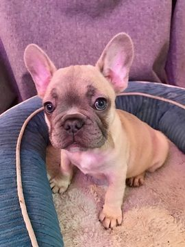 French Bulldog Puppy For Sale In San Leandro Ca Adn 19887 On