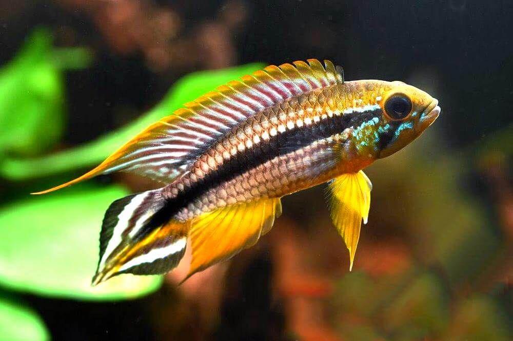 Discus Tank Mates What Are Discus Tank Mates In 2020 Aquarium Fish Rare Fish Freshwater Aquarium Fish