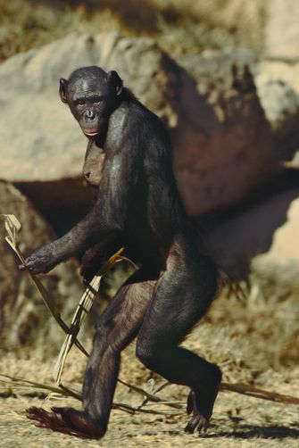 1369280.  Bonobo female walking, Pan paniscus, Native to Democratic Republic of Congo