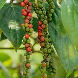 Black Pepper Plant Black Pepper Plant Pepper Plants Fast