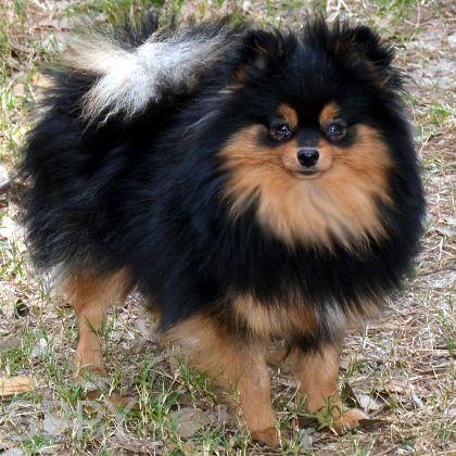 Strong S Pups Poms Poodles Yorkies Pomeranian Puppy Black Pomeranian Dogs